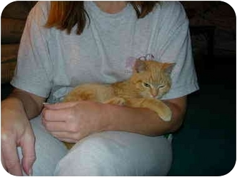 Domestic Shorthair Kitten for adoption in Randolph, New Jersey - Munchkin
