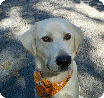 Labrador Retriever/Great Pyrenees Mix Dog for adoption in Croydon, New Hampshire - Sleek