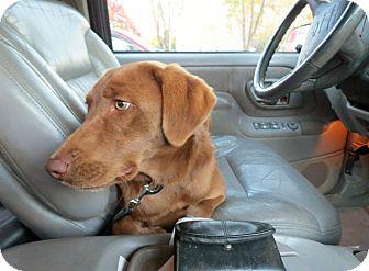 Labrador Retriever Dog for adoption in Naugatuck, Connecticut - Honey