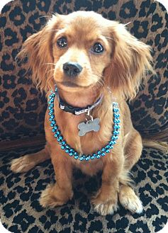 Matilda Adopted Puppy Sugarland Tx Cocker Spaniel Dachshund Mix
