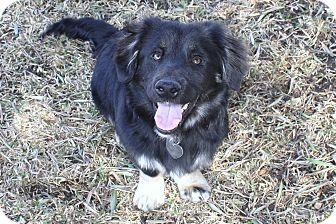 "Australian Shepherd/Corgi Mix Puppy for adoption in Yorba Linda, California - Lenny - ""I'm a Low-Rider!"""