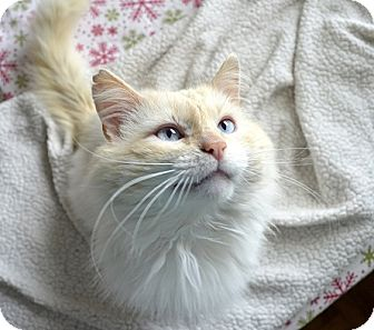 Maine Coon Cat for adoption in Xenia, Ohio - Stewart