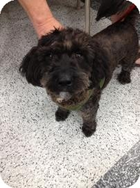 Lhasa Apso/Poodle (Miniature) Mix Dog for adoption in Tucson, Arizona - Spunky