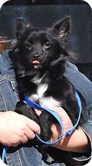 Chihuahua/Papillon Mix Dog for adoption in Peru, Indiana - Ellie