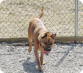 Shepherd (Unknown Type)/Labrador Retriever Mix Dog for adoption in Port Clinton, Ohio - Paulie