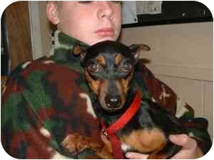 Miniature Pinscher Dog for adoption in Aledo, Illinois - Sassie