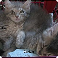 Adopt A Pet :: Carlyle - Portland, OR