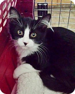 Domestic Shorthair Kitten for adoption in Brea, California - CHARLOTTE