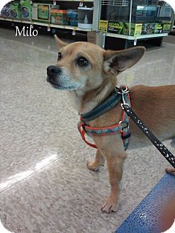 Chihuahua Mix Dog for adoption in Yuba City, California - 06/21 Milo