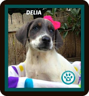 Cattle Dog/Bluetick Coonhound Mix Puppy for adoption in Kimberton, Pennsylvania - Delia