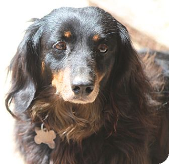 Dachshund Mix Dog for adoption in Allentown, Pennsylvania - Lorenzo