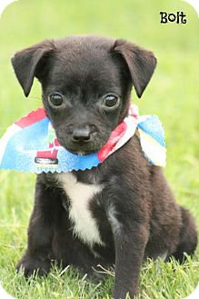 Chihuahua/Terrier (Unknown Type, Small) Mix Puppy for adoption in Cranford, New Jersey - Bolt