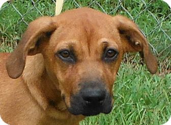 Boxer/Redbone Coonhound Mix Puppy for adoption in Cedartown, Georgia - 29416425