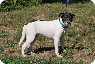 Terrier (Unknown Type, Medium)/Beagle Mix Dog for adoption in Manhattan, Kansas - Harriet