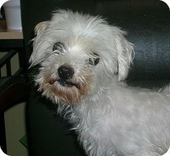 Maltese Dog for adoption in Newburgh, Indiana - Mya-Pure !
