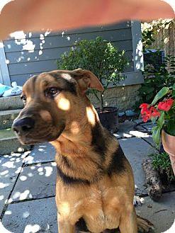 German Shepherd Dog/Labrador Retriever Mix Dog for adoption in Columbus, Ohio - Duke