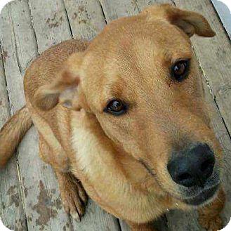 Labrador Retriever/Pit Bull Terrier Mix Dog for adoption in Edmonton, Alberta - Sarge
