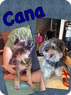 Miniature Schnauzer Mix Dog for adoption in Millersville, Maryland - Cana