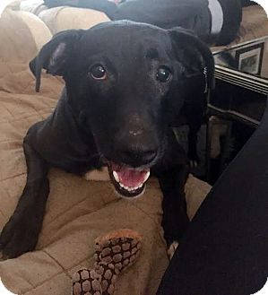 Labrador Retriever Dog for adoption in Detroit, Michigan - Maddie-Adopted!