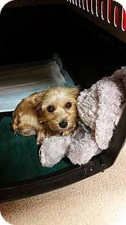 Yorkie, Yorkshire Terrier Mix Dog for adoption in Streamwood, Illinois - Patience