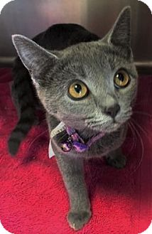 Russian Blue Kitten for adoption in Chattanooga, Tennessee - Blue Betty