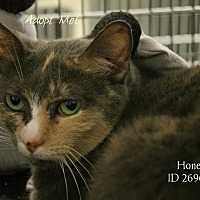 Domestic Shorthair Cat for adoption in Camden, Delaware - Honey