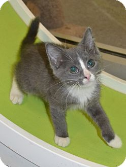 Domestic Shorthair Kitten for adoption in Michigan City, Indiana - Treat