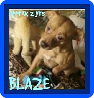 Dachshund/Chihuahua Mix Dog for adoption in Jersey City, New Jersey - BLAZE