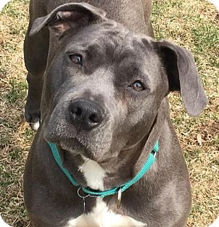 Pit Bull Terrier Mix Dog for adoption in Livonia, Michigan - Amara-ADOPTED