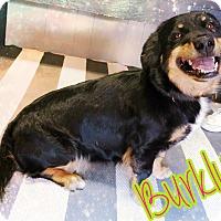 Adopt A Pet :: Burkly - Odessa, TX