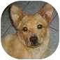 Basenji/Corgi Mix Puppy for adoption in Proctorville, Ohio, Ohio - Buster