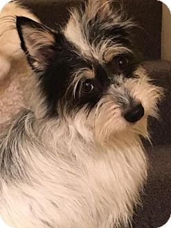 Scottie, Scottish Terrier/Standard Schnauzer Mix Dog for adoption in Hedgesville, West Virginia - Jax