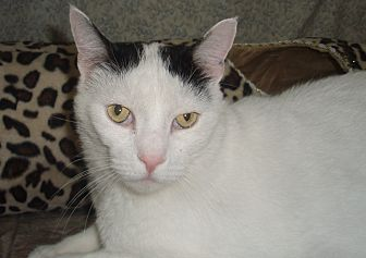 Domestic Shorthair Cat for adoption in Germansville, Pennsylvania - Teddy E