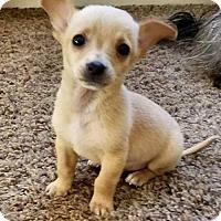 Adopt A Pet :: Wyatt Earp - Los Banos, CA