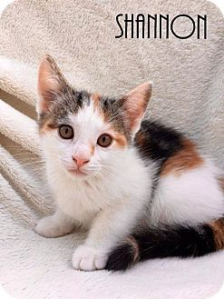 Domestic Shorthair Kitten for adoption in Valley Park, Missouri - Shannon