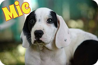 Basset Hound/Beagle Mix Puppy for adoption in WESTMINSTER, Maryland - Mic