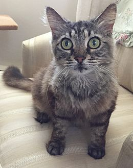 Domestic Mediumhair Cat for adoption in Richmond, Virginia - Phoebe