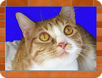 Domestic Shorthair Cat for adoption in Jackson, New Jersey - Jack