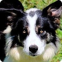 Adopt A Pet :: LADY(OUR AUSSIE/BORDER COLLIE! - Wakefield, RI
