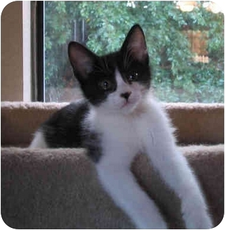 Domestic Shorthair Kitten for adoption in Sacramento, California - Teagen