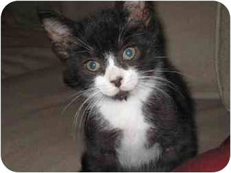Domestic Shorthair Kitten for adoption in Long Beach, New York - Jimbo