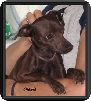 Miniature Pinscher/Chihuahua Mix Dog for adoption in Irvington, Kentucky - Chewie