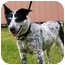 Photo 1 - Australian Cattle Dog Mix Dog for adoption in Walker, Michigan - Gretel