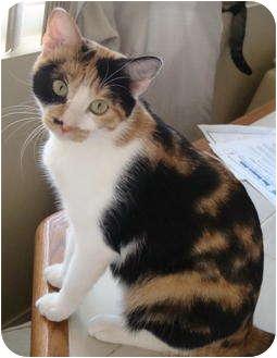 Calico Cat for adoption in Quail Valley, California - Valentine