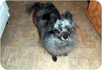 Pomeranian Dog for adoption in Kokomo, Indiana - Indigo