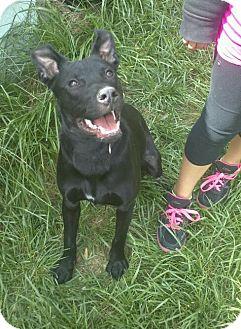 Labrador Retriever/Shepherd (Unknown Type) Mix Dog for adoption in Crown Point, Indiana - Max