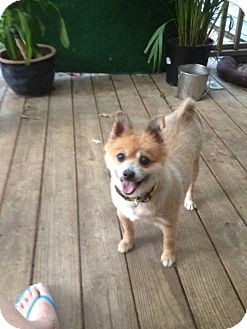 Pomeranian Dog for adoption in conroe, Texas - Paxton