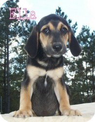 Beagle/Black and Tan Coonhound Mix Puppy for adoption in Walker, Louisiana - ELLA
