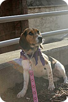 Beagle Dog for adoption in Grand Rapids, Michigan - Tilly