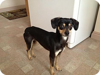 Coonhound (Unknown Type)/Chihuahua Mix Dog for adoption in Ogden, Utah - Ruby